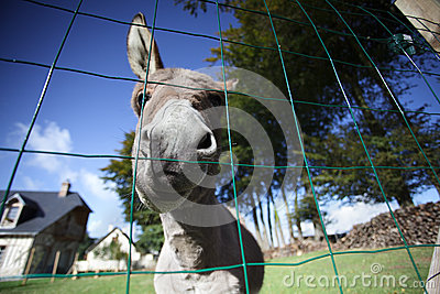 Small grey Donkey