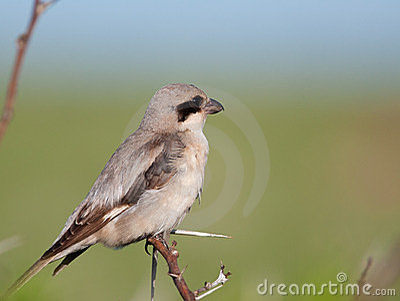 Small Grey Shrike on thorn tree
