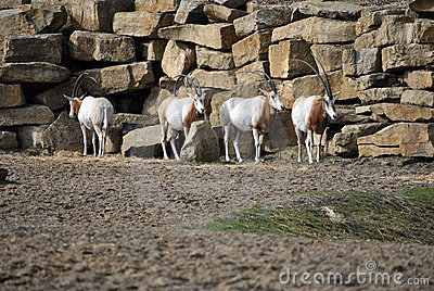 Small herd or wild oryx