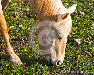 Small horse grazing