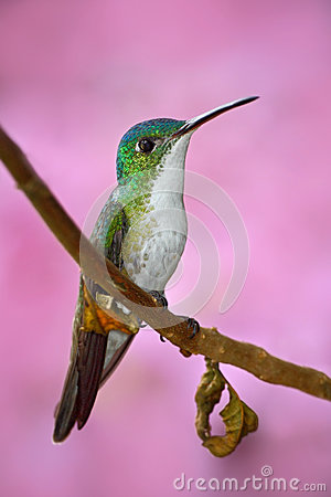 Free Small Hummingbird Andean Emerald Sitting On The Branch With Pink Flower Background. Bird Sitting Next To Beautiful Pink Flower Wit Stock Photo - 75946240