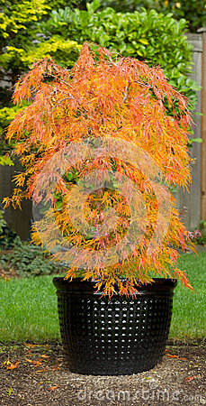 Free Small Japanese Maple In Pot During Autumn Season Royalty Free Stock Image - 34691716