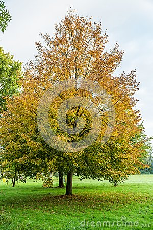 Free Small-leaved Lime, Tilia Cordata,  In Autumn Colors Stock Image - 106036521