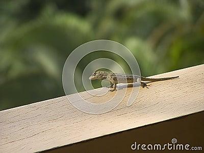 small lizard from costa rica