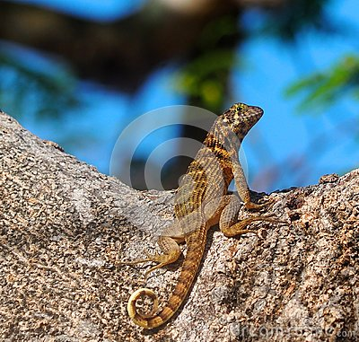 Free Small Lizard With Horizontal And Vertical Stripes Royalty Free Stock Images - 118041669