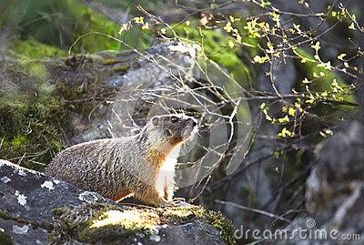 Small marmot on a rock.