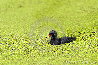 Small Moorhen