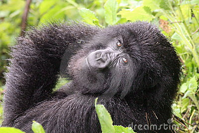Small Mountain Gorilla