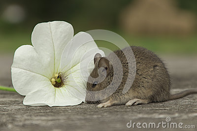 Small mouse with the flower