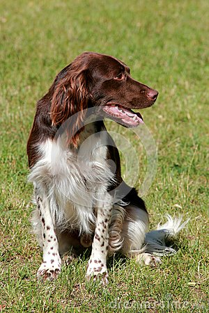 Small munsterlander dog