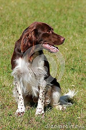 Small munsterlander dog