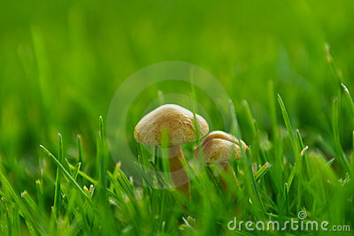 Small mushroom in grass