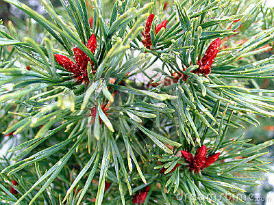 Small needles and cones