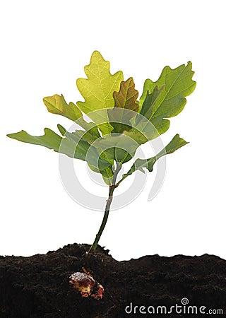 Free Small Oak Stock Photo - 55554480