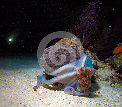 Small octopus sitting on coral during night dive