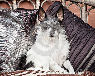 Small Old Dog Sitting on Couch with Blanket and Cushions