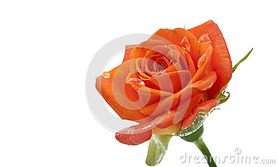 Small orange roses isolated