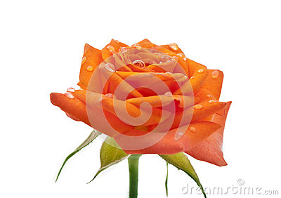 Small orange roses isolated