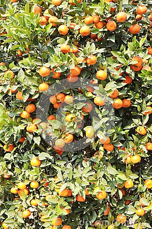 The small orange tree