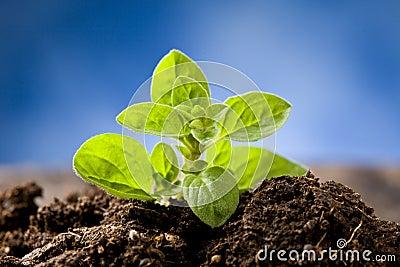 Small Oregano Plant