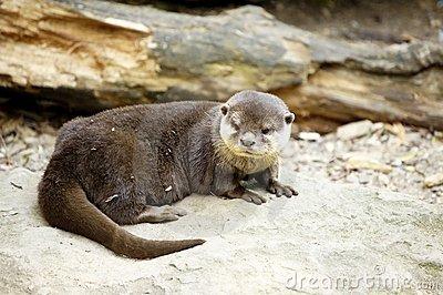 Small otter