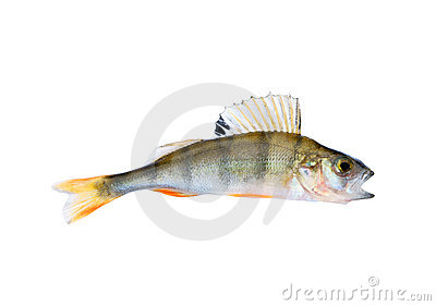 Small perch isolated