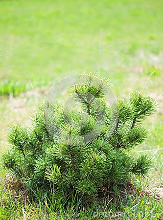 Small pine on green background.