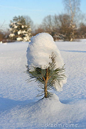 Small pine with snow cap
