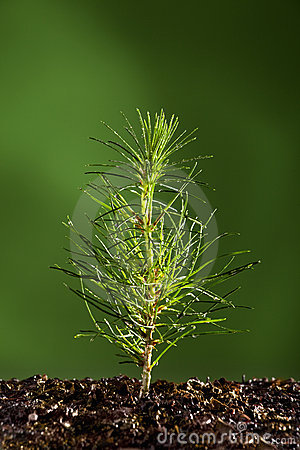 Free Small Pine Tree Plant Stock Images - 13967184