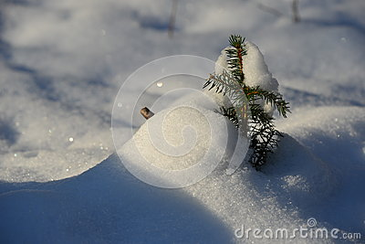 Small pine tree in snow