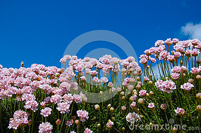 Small pink thrift flowers with blue sky in the background