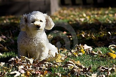 Small poodle in autumn 4