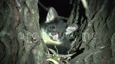 Small possum in a tree in the night in Margaret River, Western Australia stock video