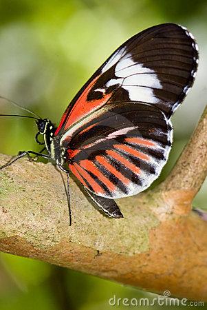 Small Postman Butterfly (Heliconius erato)