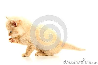 Small pretty kitten