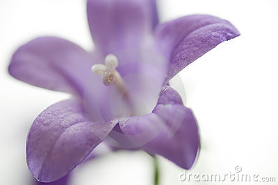 Small Purple Bell Flower