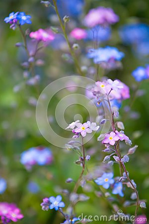 Small purple blue flowers