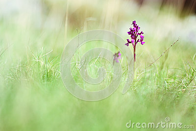 Small purple orchid flower in grass