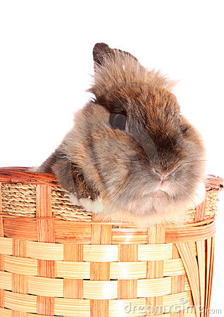 Small rabbit in basket.