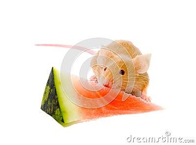 Small  rat.