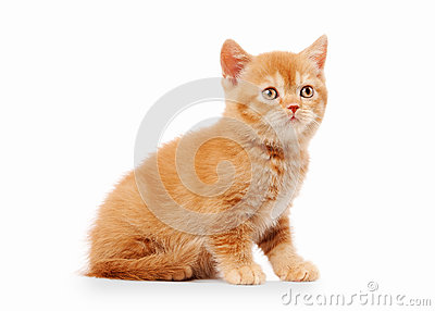 Small red british kitten