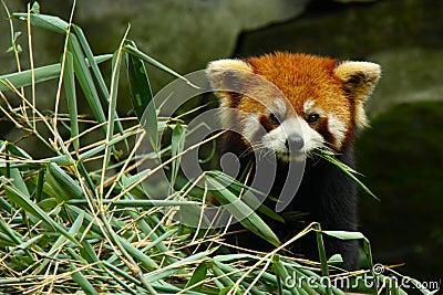 Small red panda