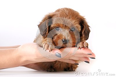 Small red puppy on hands