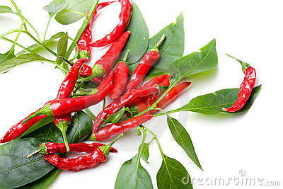 Small red spicy hot chili peppers on plant leaves