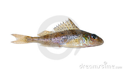 Small ruff fish isolated