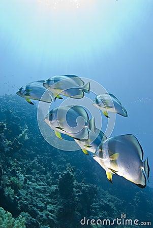 Free Small School Of Circular Batfish. Royalty Free Stock Image - 14707606