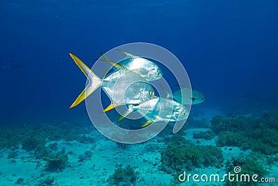 Small school of solver fish