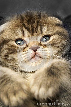Free Small Scottish Fold Kitten Royalty Free Stock Images - 112210339