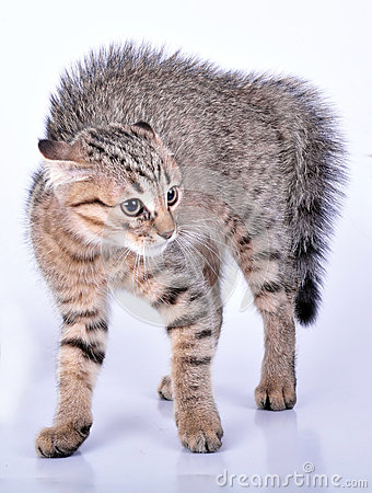 Free Small Scottish Straight Kitten Looking Scared Stock Images - 32653484