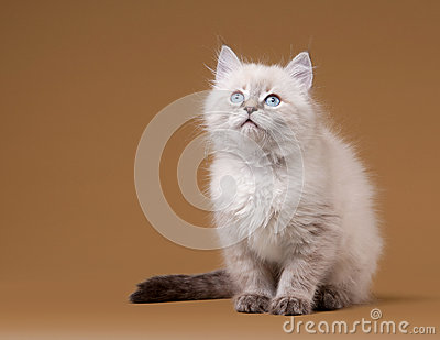 Small siberian kitten on light brown